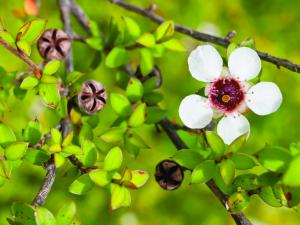 Manukový keř - Leptospermum scoparium